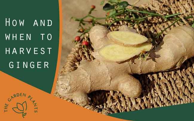 Harvesting ginger