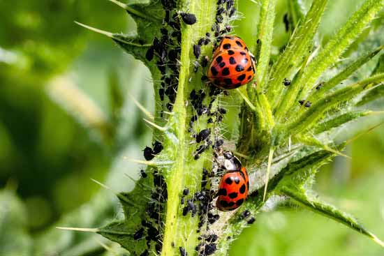 Beneficial insects for garden