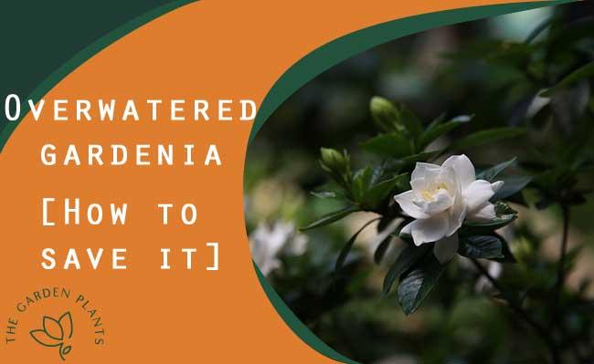 Overwatered gardenia [Best watering tips]