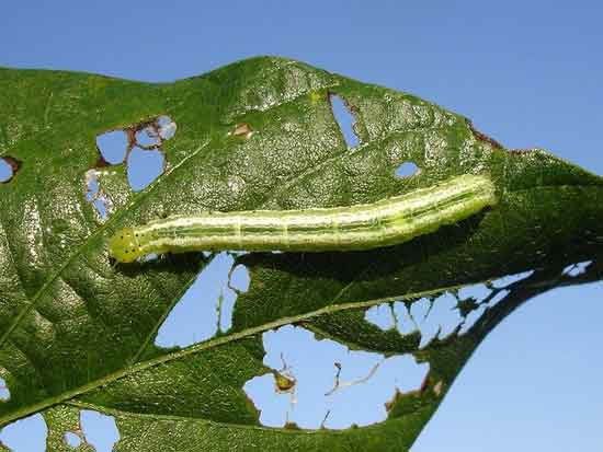Insects that eat leaves on plants